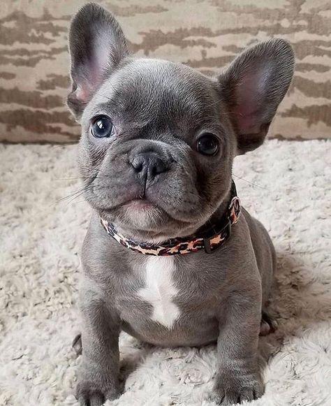 Adorable Blue French Bulldog Puppy French Bulldog Puppies Cute