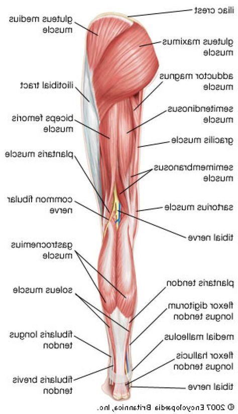 Human Leg Muscles Diagram human anatomy drawing Leg muscles