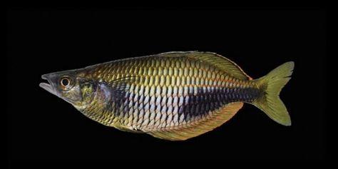 Ditemukan Ikan Pelangi Dari Papua Good News From Indonesia Ikan Pelangi Burung