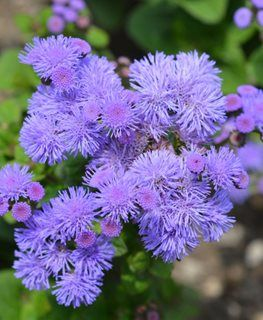 Pin On Ageratum Flowers