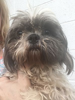 Cumberland Md Shih Tzu Meet Tuty A Dog For Adoption Shih