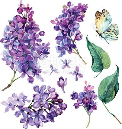 Watercolor Collection Of Purple Lilac Flowers Leaves And Butterfly Isolated On White Background Bota Purple Flower Tattoos Lilac Painting Flower Illustration