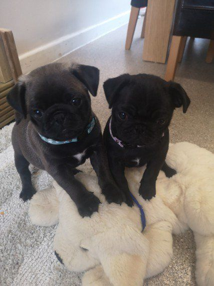 Black Pug Puppies For Sale In Kuwait Black Pug Puppies Pug
