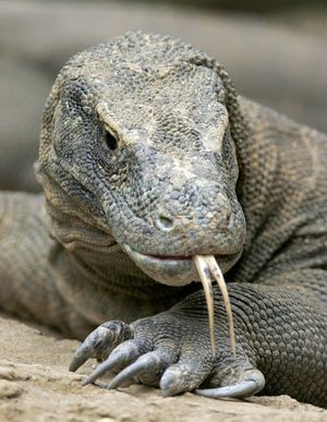 Humans have only known of Komodo dragons' existence for about 100 years. This reptile is the top predator in its range, but dearth of egg-laying females, poaching, human encroachment, and natural disasters has driven Komodo Dragons to endangered status.