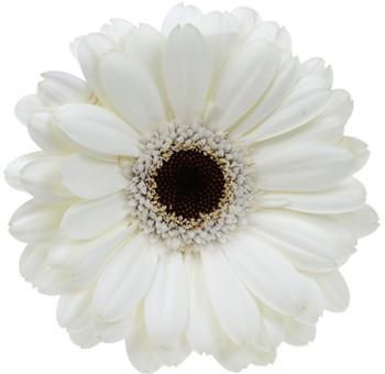 White Gerbera Daisy Flower With Black Center 80 Stems Wholesale Flowers Jr Roses In 2020 Gerbera Daisy Wedding Flowers Gerbera Daisy Gerbera Daisy Wedding