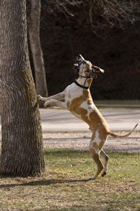 Dealing With Distractions For My Add Doggo Great Dane Dogs Puppy Training Biting Dog Biting