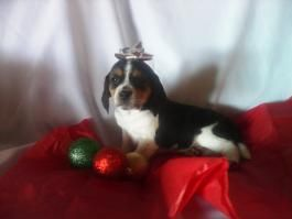 Trigger Beagle Puppy For Sale In Baltic Oh Lancaster Puppies