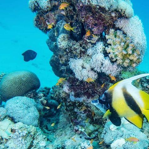 #advertise #moorishidol #zancluscornutus #idol #halfterfisch #reef #life #nature #aquarium… – strawy-fireballs