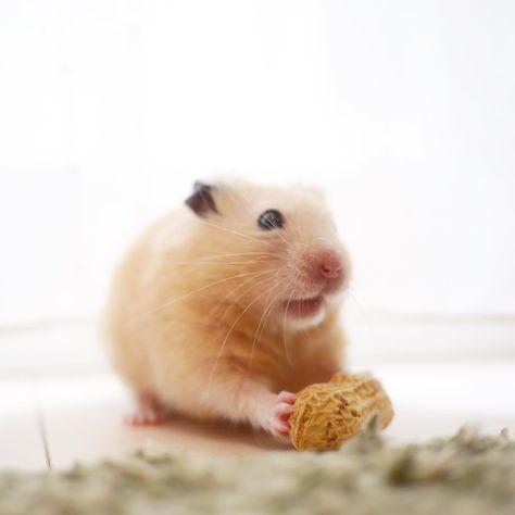 「ハッ…何の音だチュー?」 風の音にびっくりしてフリーズw * * #ナッパ#nappa#ゴールデンハムスター#ハムスター#キンクマ#小動物#かわいい#ふわもこ部#癒し#펫스타그램#life#instacute#instapet#family#goldenhamster#syrianhamster#hamster#hammy#happy_pets#倉鼠#petscorner#pet#bestanimal#animal#adorable#awww#love#socute#cute#followme