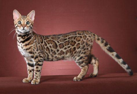 Cheetoh Cat Wallpapers Hd Download Bengal Kitten Bengal Cat Kittens Bengal Cat