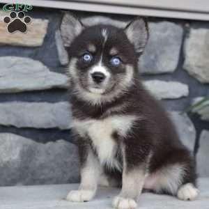 Jackie Pomsky Puppy For Sale In Ohio Pomsky Pomsky Puppies