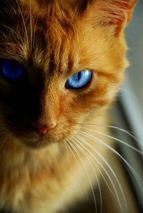 Copperdusk Tom Orange Tabby Cats Cats Warrior Cats