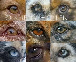 Aussie Eyes Australian Shepherd Colors Australian Shepherd Australian Shepherd Blue Merle