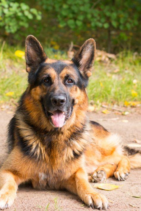 Dog German Shepherd In The Forest In A Nice Day Germanshepherd In