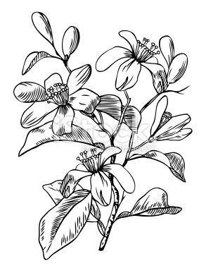 Pin De Beatriz Lizatovich En Orange Blossom Tatuajes De Flor De Cerezo Flor Del Limonero Flor De Azahar