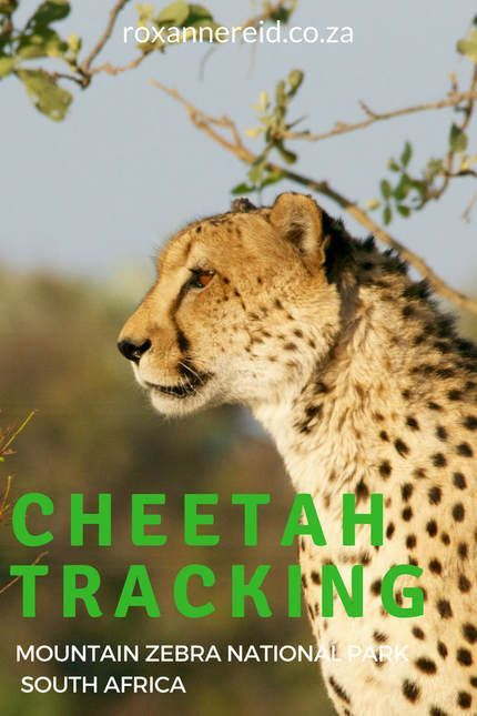 Cheetah Tracking In Mountain Zebra National Park Mountain Zebra Park South Kruger National Park