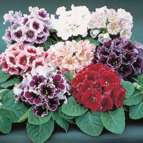 Gloxinia Is A Genus Of Three Species Of Tropical Rhizomatous Herbs