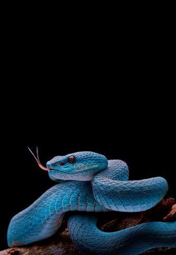 Blue Pit Viper By Davidyct Snake Wallpaper Pit Viper Snake
