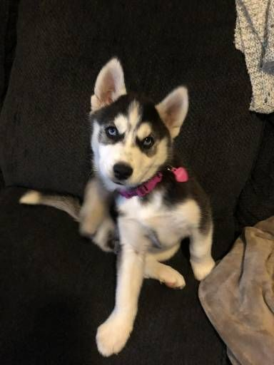 Siberian Husky Dogs For Sale In United States California