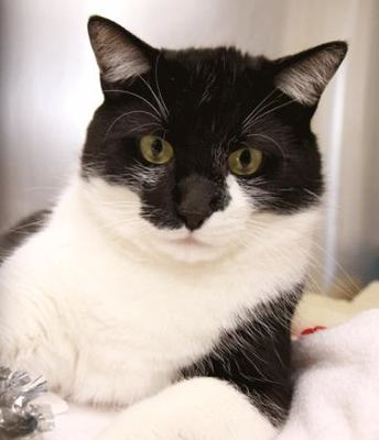 Berea Oh Domestic Shorthair Meet Elliott A Pet For Adoption Pet Adoption Cute Cats What Cats Can Eat