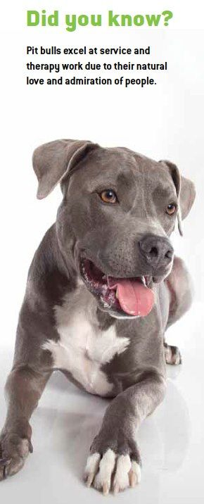 "Pits & other ""Bully"" Breeds make great service dogs when properly trained.  They are loyal - one of the most loyal breeds in the world.  Shameful what humans are doing to destroy a breed."
