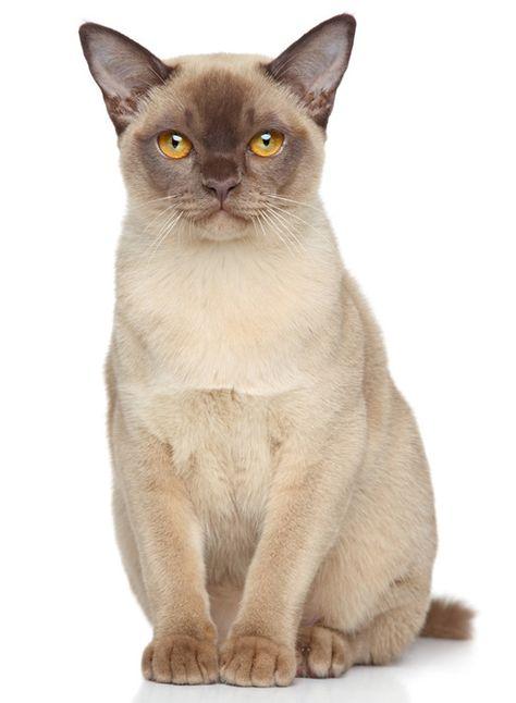 Burma Katze Katzen Katzen Anhanger Burma