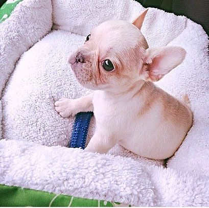 Pin On French Bulldog Health Issues