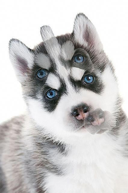All The Things I Admire About The Bold Siberian Husky Pups