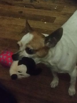 Chihuahua Puppy For Sale In Salem Or Adn 63496 On Puppyfinder