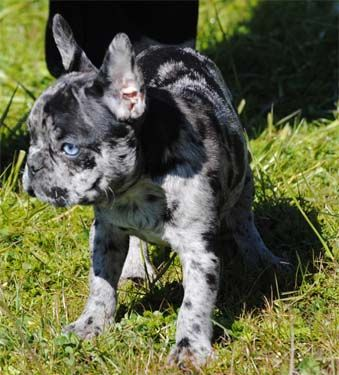 Akc Merle French Bulldog Puppies Available French Bulldog