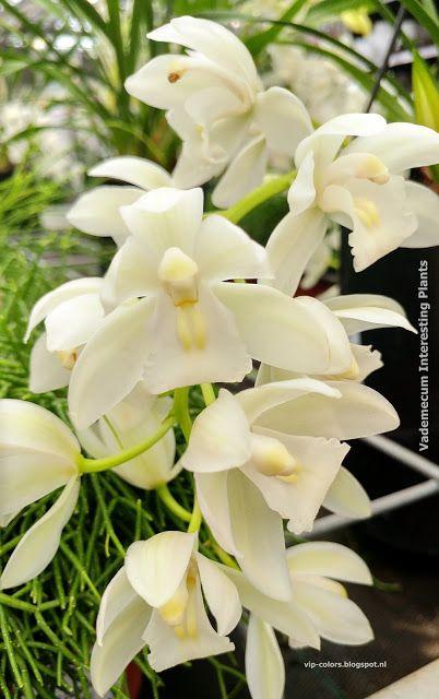 Vademecum Interesting Plants Orchid Care Plants Orchidaceae