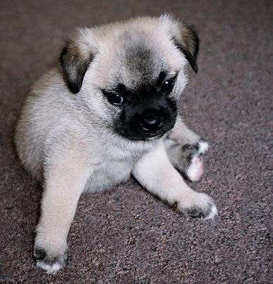 Pug Cross Breeds List Super Cute Dogs