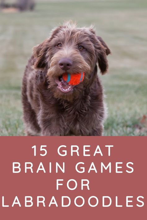 15 Great Brain Games for Labradoodles - Labradoodle Home Off Leash Dog Training, Dog Training Tips, Brain Games For Dogs, Dog Games, Dog Puzzles, Australian Labradoodle, Doodle Dog, Dog Care Tips, Goldendoodle