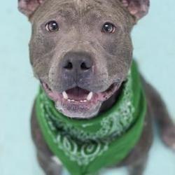 Philadelphia Pa American Pit Bull Terrier Meet Thaddeus A Dog