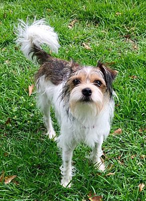 Oklahoma City Ok Jack Russell Terrier Meet Shasta In Tulsa Ok