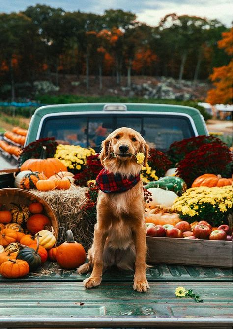 Golden Retrievers Here are seven of our favorite things to do with our dogs in fall. - The leaves are falling and the weather is cooling down, which means there are a whole bunch of new activities you can do with your dog this fall season. Dogs Golden Retriever, Golden Retrievers, Retriever Puppies, Labrador Retriever, Fall Pictures, Dog Pictures, Yellow Lab Puppies, Photos With Dog, Fall Dog Photos