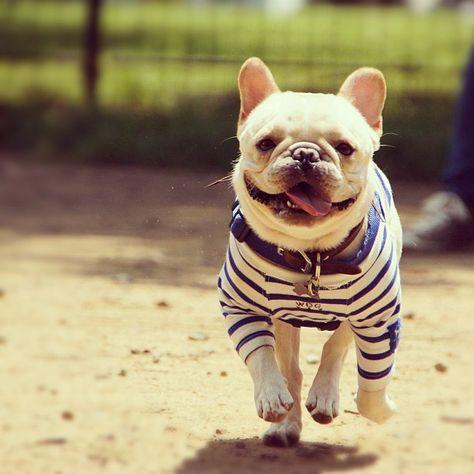 French Bulldog, the French Breton Stripe history. The story of french stripes. The mariner stripe.