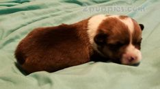 Welsh Corgi Pembroke Welsh Corgi Pembroke Dogs For Sale In United