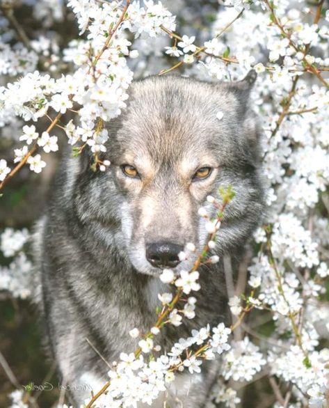 #wolf #wolves #leaderofthepack #spiritanimal- Justi Nouh #animalswildwolves #Justi #leaderoft...