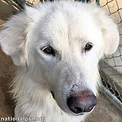 Pet Card Pets Great Pyrenees Dogs
