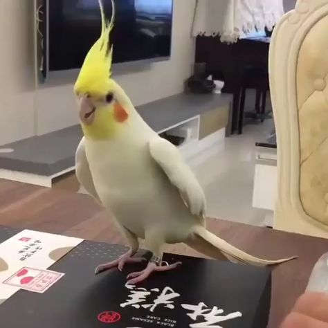 Best Treats to Train a Cockatiel ⚫⚫⚫ VISIT SITE TO LEARN MORE @ ThePetSupplyGuy.com  #thepetsupplyguy #pet #pets #animal #bird #birds #avian #cockatiel Video Credit: Cockatiel Dance @soy_agustinc on IG