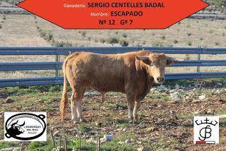 Torodigital Festes El Salvador Nules En 2020 El Salvador Vacas