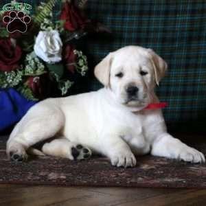 New Arrivals Labrador Retriever Labrador Labrador Retriever Dog