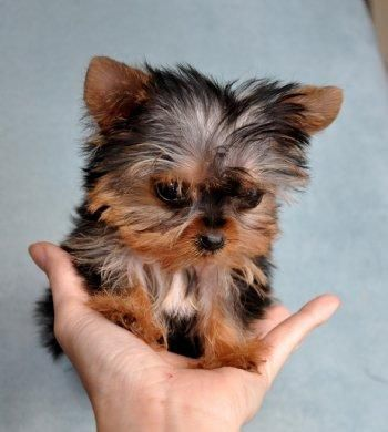 Pin By Cindy Thompson On Toy Poodles Yorkie Puppy Dogs Cute Dogs