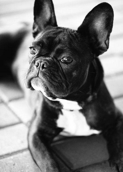 Franse Bulldog Zwart Wit Beeld Van Falko Follert Op Canvas Behang