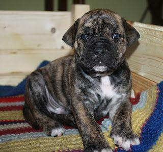 Alano Espanol Spanish Bulldog Puppies Dogs Animals
