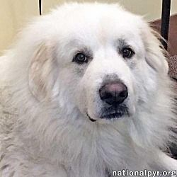 Available Pets At National Great Pyrenees Rescue In Beacon New