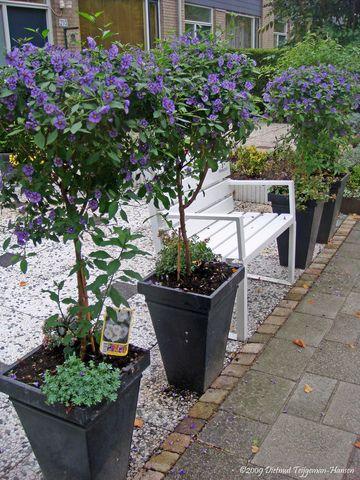 Solanum Rantonnetii Sur Tige Plants Bush Plant Garden Plants
