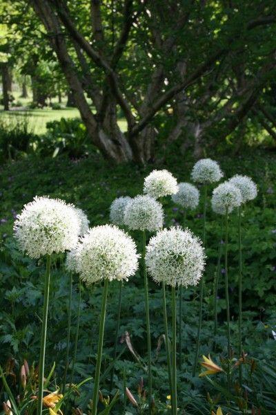 Garten Zierlauch Mount Everest Kaufen Garten Von Ehren Beste Qualitat Seit 1865 Gunstige Preise Riesenauswahl Kauf Auf Zierlauch Bepflanzung Pflanzen