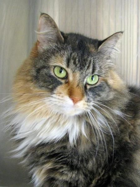 Domestic Long Hair Cat For Adoption In Falmouth Cat Adoption Long Haired Cats Cat Rescue